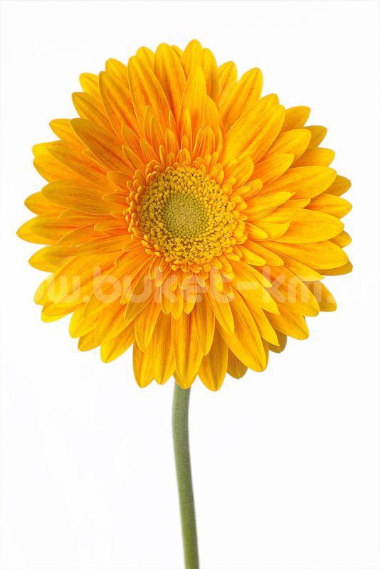 Гербера Ярко-жёлтая