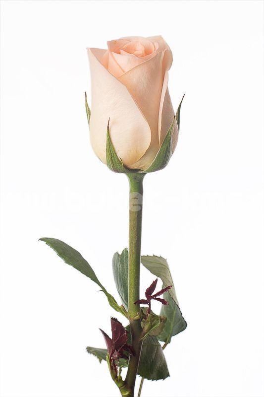"""Роза """"Тифани"""""""